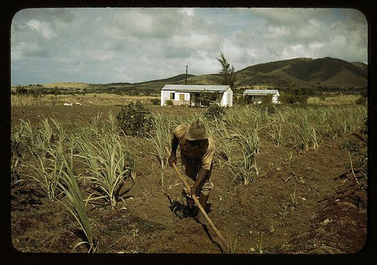 Delano Farm Security Administration borrower cultivating his sugar cane field vicinity of Frederiksted St Croix Virgin Islands
