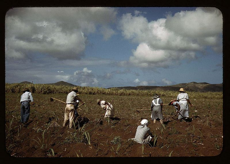 Delano Cultivating sugar cane on the Virgin Islands Company land vicinity of Bethlehem Saint Croix 1941